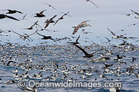 Petrels and Albatross at Trawler photo