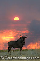 Wildebeest at sunset Photo - Chris and Monique Fallows