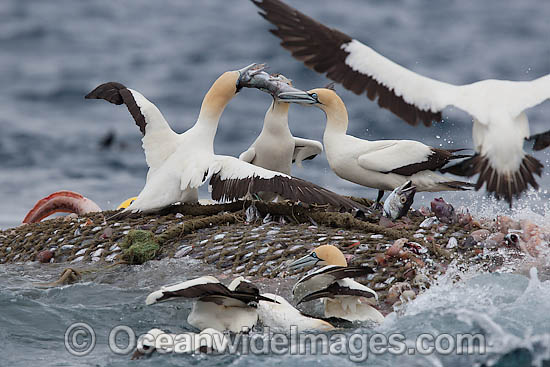 Cape Gannet (Morus capensis) scavenging a trawl net operating off Cape Point, South Africa