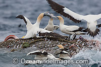 Trawler Fishing and Cape Gannets Photo - Chris & Monique Fallows