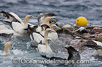 Trawler Fishing and Gannets around net photo