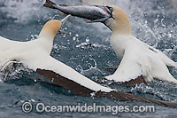 Cape Gannets scavenging around trawler Photo - Chris and Monique Fallows
