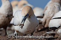 Cape Gannets scavenging fish Photo - Chris and Monique Fallows
