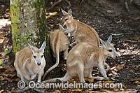 Nailtail Wallaby