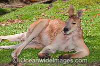 Antilopine Wallaroo (Macropus antilopinus) - male. Found in the woodlands of Far Northern Australia Photo: Gary Bell