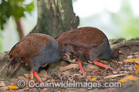 Orange-footed Scrubfowl image
