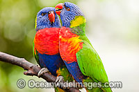Pair of Rainbow Lorikeets Photo - Gary Bell