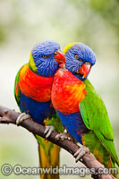 Rainbow Lorikeets Photo - Gary Bell