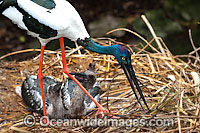Black necked Stork parent with chick photo