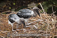 Black necked Stork chicks in nest