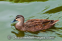Pacific Black Duck on nest
