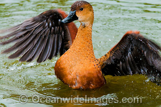 Wandering Whistling Duck (Dendrocygna arcuata). Found in tropical and sub-tropical wetlands throughout Australia, Indonesia, Pilippines, Papua New Guinea and the Pacific Islands Photo - Gary Bell