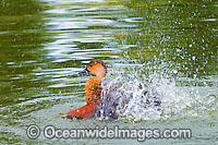Wandering Whistling Duck Photo - Gary Bell