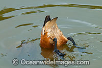 Wandering Whistling Duck feeding on weed Photo - Gary Bell