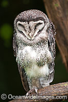 Lesser Sooty Owl Photo - Gary Bell