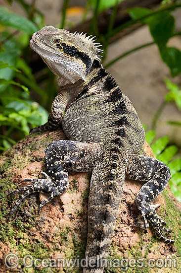 Australian Water Dragon (Physignathus lesueurii). Also known as Eastern Water Dragon. Found on the east coast of Australia from Victoria north to Queensland. A small population also exists on the south-east coast of South Australia. Photo - Gary Bell