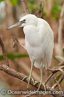 Pacific Reef Heron white color photo