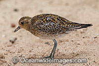Pacific Golden Plover Pluvialis fulva Photo - Gary Bell