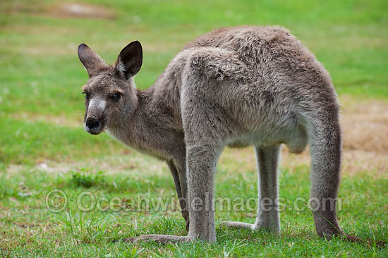 Western Grey Kangaroo (Macropus fuliginosus). Found across the southern part of Australia, from coastal South Australia to western Victoria, and through the Murray-Darling Basin in New South Wales and Queensland, Australia. Photo - Gary Bell