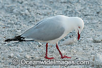 Silver Gull image