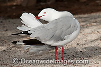 Silver Gull preening Photo - Gary Bell
