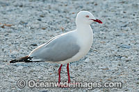 Seagull Photo - Gary Bell