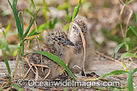 Silver Gull newborn chicks image