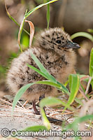 Silver Gull newborn chick Photo - Gary Bell