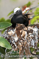 Black Noddy nesting in Pisonia tree