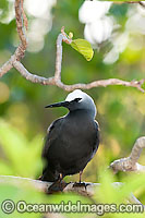 Black Noddy nesting in Pisonia tree photo