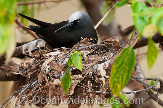Black Noddy (Anous minutus) nesting in a Pisonia tree forest. Also known as White-capped Noddy. Found throughout Australia, and widespread in Pacific Ocean, central Atlantic and northeast Indian Ocean. Photo Heron Island, Great Barrier Reef, Australia Photo - Gary Bell