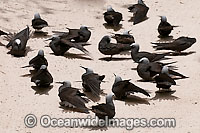 Black Noddy sunbaking