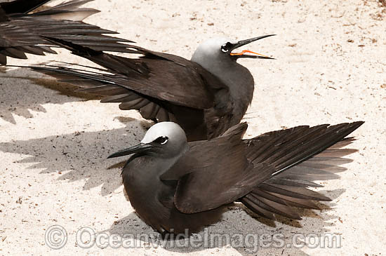 Black Noddy (Anous minutus) sunbaking with wings out-stretched in order to free themselves of bird lice and ticks. Also known as White-capped Noddy. Found throughout Australia, widespread in Pacific Ocean. Photo Heron Island, Great Barrier Reef, Australia Photo - Gary Bell