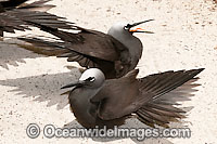 Black Noddy with wings stretched photo