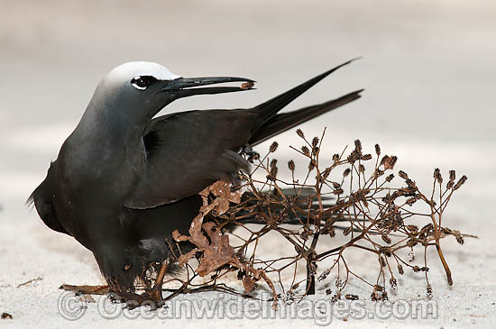 Black Noddy (Anous minutus) caught up in sticky Pisonia tree seed which eventually would kill the bird. Also known as White-capped Noddy. Found throughout Australia, and widespread in the Pacific Ocean. Photo Heron Island, Great Barrier Reef, Australia Photo - Gary Bell