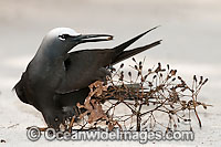Black Noddy caught in Pisonia seeds photo