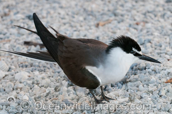 Bridled Tern (Onychoprion anaethetus, formerly Sterna anaethetus). Found in the tropical and sub-tropical seas of north-western and north-eastern Australia, often great distances from land. Photo taken at One Tree Island, Great Barrier Reef, Australia Photo - Gary Bell