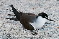Bridled Tern Photo - Gary Bell