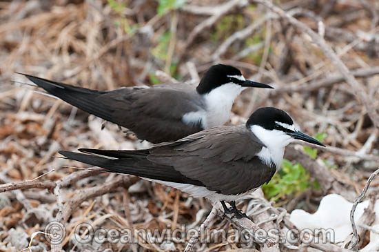 Bridled Tern (Onychoprion anaethetus, formerly Sterna anaethetus). Found in the tropical and sub-tropical coastal seas off north-western and north-eastern Australia, often great distances from land. Photo One Tree Island, Great Barrier Reef, Australia Photo - Gary Bell