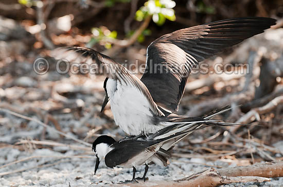Bridled Tern (Onychoprion anaethetus, formerly Sterna anaethetus) mating pair. Found in the tropical and sub-tropical seas of north-western and north-eastern Australia, often great distances from land. Photo One Tree Island, Great Barrier Reef, Australia Photo - Gary Bell