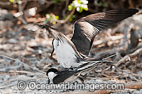 Bridled Tern mating pair Photo - Gary Bell