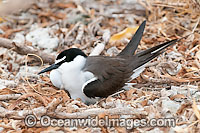 Bridled Tern parent bird on nest Photo - Gary Bell