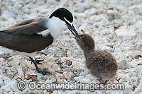 Bridled Tern parent with chick