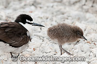 Bridled Tern parent with chick Photo - Gary Bell