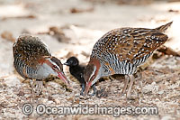 Buff-Banded Rail parents with chick Photo - Gary Bell
