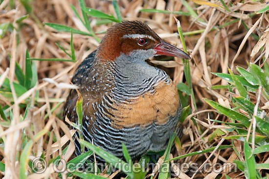 Buff-banded Rail (Gallirallus philippensis). Found throughout Australia, except inland desert areas. Also Philippines, New Guinea and New Zealand. Photo taken Heron Island, Great Barrier Reef, Australia Photo - Gary Bell