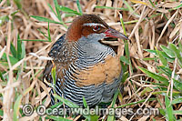 Buff-Banded Rail Photo - Gary Bell