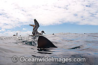 Great Shearwater with Blue Shark Photo - Chris & Monique Fallows