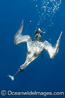 Sooty Shearwater diving on bait image