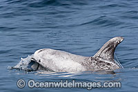 Risso's Dolphin Grampus griseus Photo - Chris and Monique Fallows